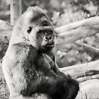 Female Silverback Gorilla Black and White by Sarah Van Geest
