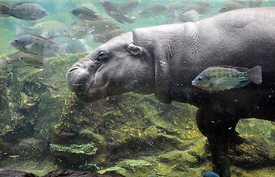 Pygmy Hippopotamus - Singapore. by Ralph de Zilva