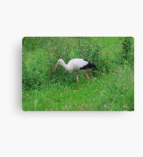 White stork Canvas Print