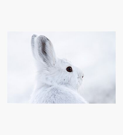 Snowshoe Hare Photographic Print