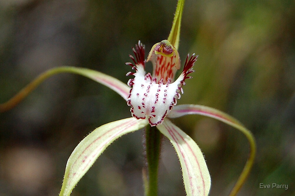 Christmas Spider Orchid by Eve Parry