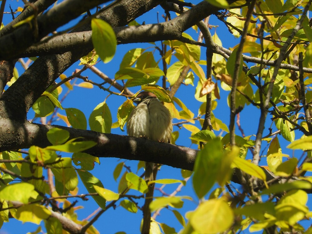 Ankara Tree Sparrow by tomeoftrovius