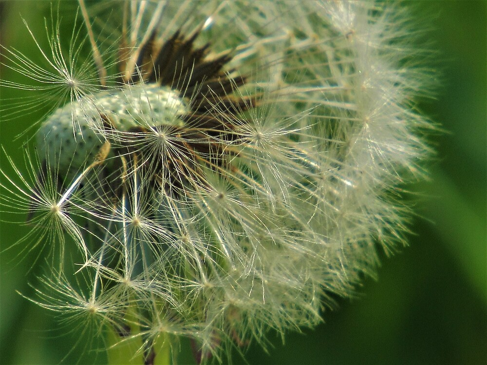 Dandelion Close-Up by tomeoftrovius