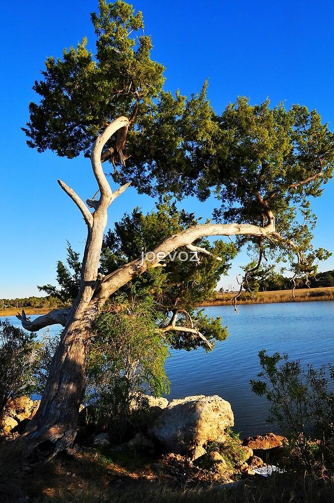 Cedar Tree On Coast by joevoz