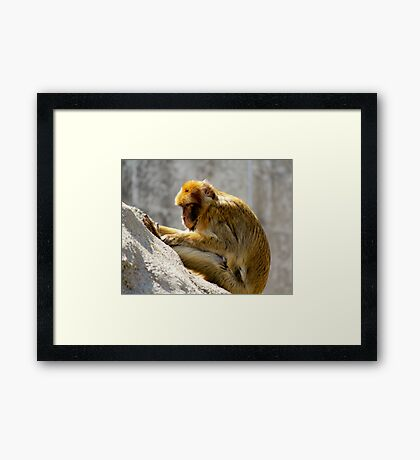 Barbary Ape Framed Print