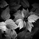 New Hibiscus Leaves.  by Anthony Vella