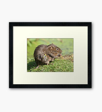 The verdant vole Framed Print