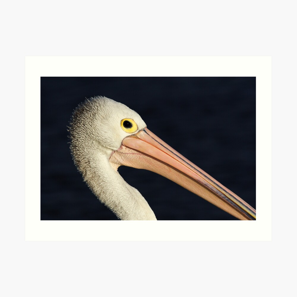 Pelican at Lakes Entrance Art Print