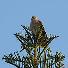 Red Shouldered Hawk by Mike Fischetti