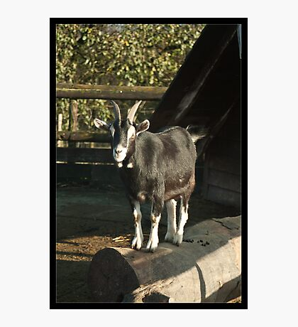 Head Goat Photographic Print