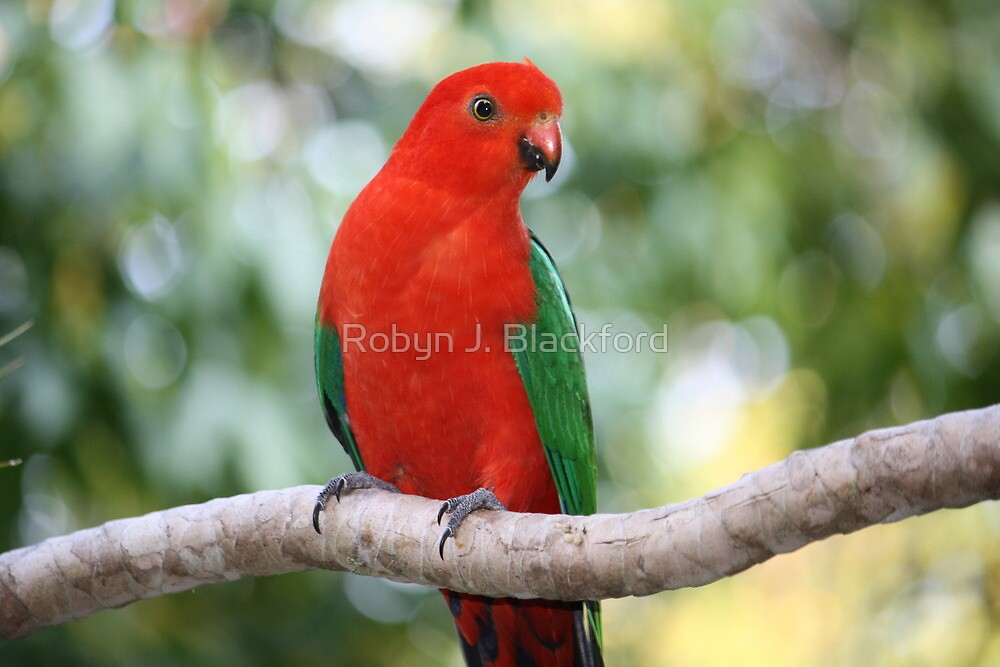 Young Male Australian King Parrot by aussiebushstick