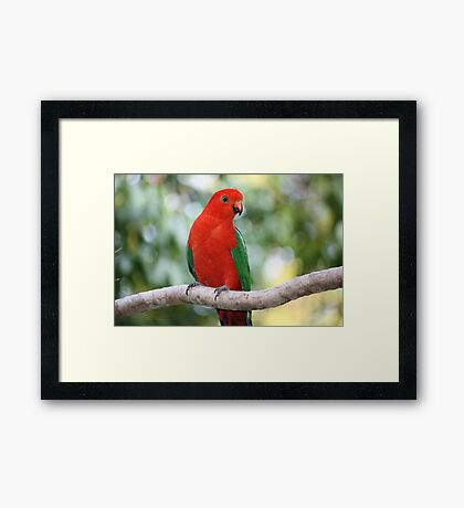 Young Male Australian King Parrot Framed Print