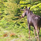Bull Moose in Maine by Sarah Van Geest