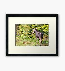 Bull Moose in Maine Framed Print