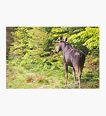 Bull Moose in Maine Photographic Print