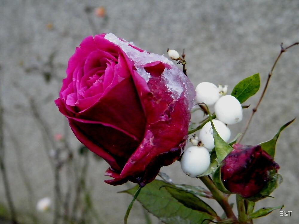 Snowy Rose by ElsT