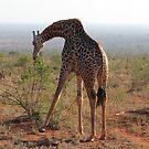 Grazing Giraffe by BlackhawkRogue