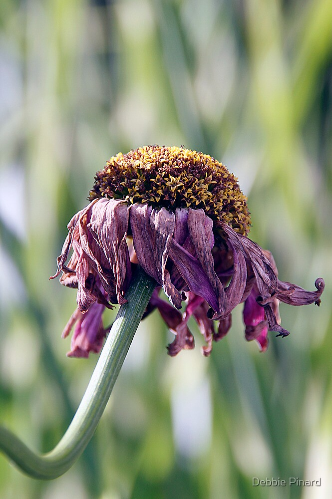 Dying Daisy by Debbie Pinard