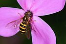 Hover Fly by JimGuy