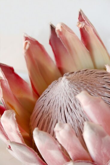 King Protea by Jeanne Horak-Druiff