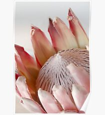 King Protea Poster