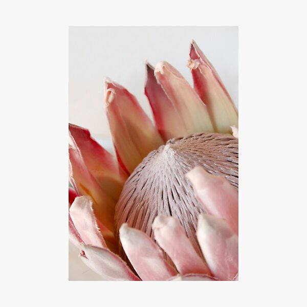 King Protea Photographic Print