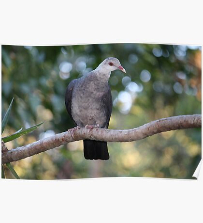 Shy Young White-headed Pigeon Poster