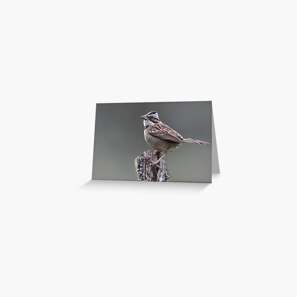 Rufous-Collared Sparrow Greeting Card