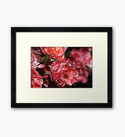 Rose Delight Framed Print