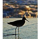 Willet by Robin Black