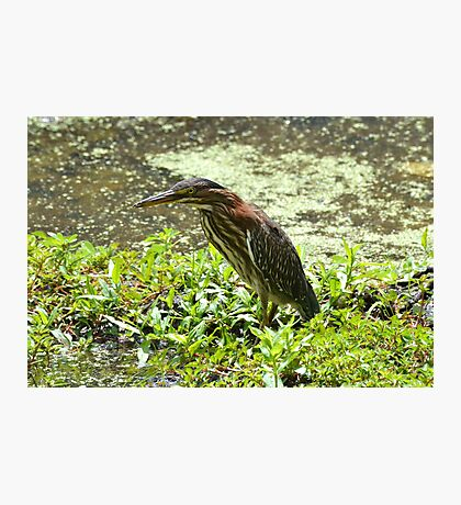 Green Heron A Photographic Print