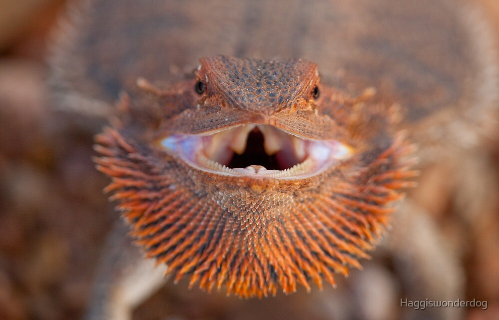 Smiley - Central Bearded Dragon by Georgina Steytler