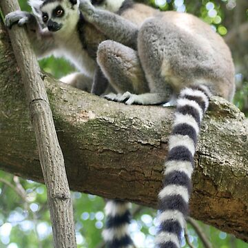 Ringtail Lemurs Grooming in Madagascar by janemcdougall