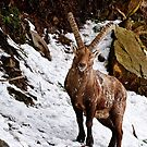 Ibex in Winter by Michael Cummings