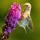 sunbird by BlaizerB