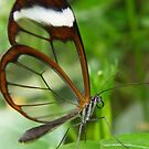 Glasswing by IngridSonja