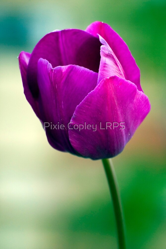 Purple Tulip Flower by Pixie Copley LRPS