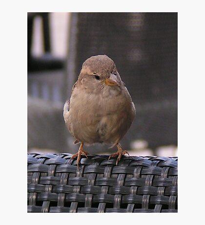 House Sparrow  Photographic Print
