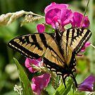 Wild Sweet peas & Butterfly Wings by Chuck Gardner
