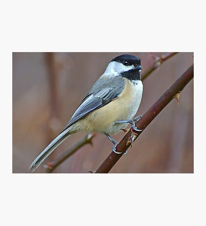 Black-Capped Chickadee Photographic Print
