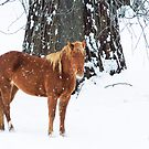 Golden Chestnut - Winter by KBritt