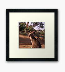 Forester Kangaroo Framed Print