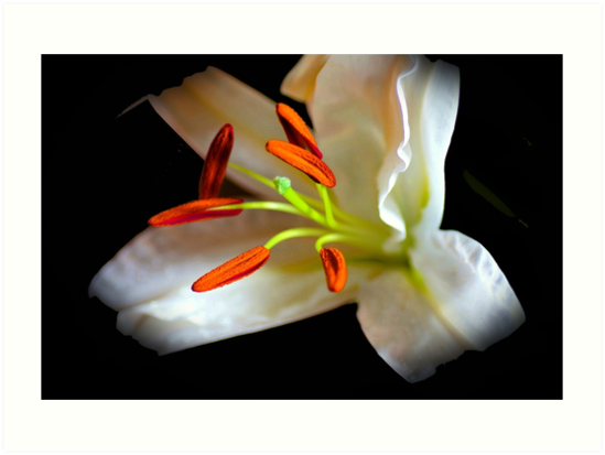 White lilly by Joyce Knorz
