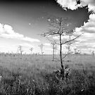 Pond Cypress, Corkscrew Swamp 2011 by Frank Bibbins