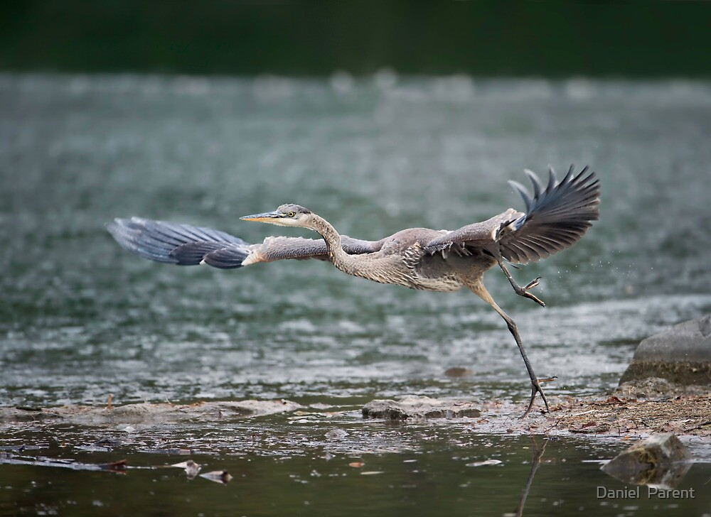 Heron Liftoff by Daniel  Parent