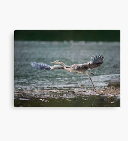 Heron Liftoff Canvas Print