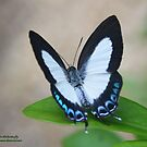 The Ochid butterfly by robmac