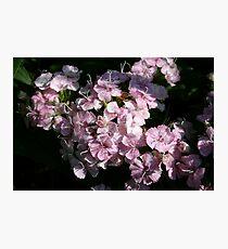 Sweet Sweet Williams Photographic Print