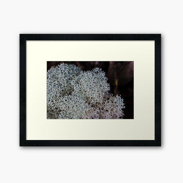 Reindeer lichen (Cladina confusa) Tarkine Rainforest Framed Art Print