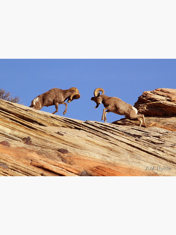 Bighorns Battling in Red Rock Country by annruttle